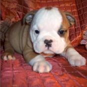 This litter English Bulldog are registered with  kc