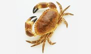 Ireland's Experienced Brown Crab Exporters