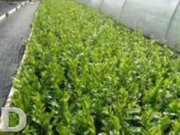 LAUREL HEDGING FOR SALE