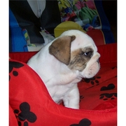 Fabulous English bulldog puppies available now