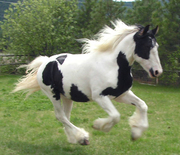 gypsy horse for adoption