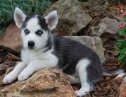 PrintPrinter Friendly 	 AKC REGISTERED MALE & FEMALE SIBERIAN HUSK