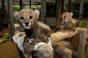 Registered Cheetah Cubs for Sale